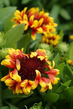 Gaillardia 'Sun Devil' (2) | Flickr - Photo Sharing!