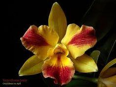 Resultado de imagem para orquideas vermelhas