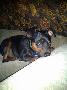 Dana T. in Plow & Hearth customer service shares a picture of her best pal, Pooty the mini pinscher!