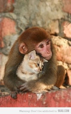 I keep seeing pictures of monkeys and cats/kittens together. It's cute, but what's it all about? The first such picture I ever remember seeing was with the story of Koko's Kitten in Nat'l Geo. in the late 70s - early 80s? Koko was, I think, a highland gorilla who'd been taught to communicate using American Sign Language (ASL).