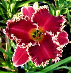 Photo of the bloom of Daylily (Hemerocallis 'Van Helsing')