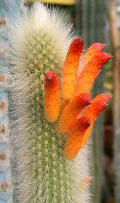 Cactus in bloom Unusual Plants, Exotic Plants, Cool Plants, Exotic Flowers, Amazing Flowers, Love Flowers, Purple Flowers, Cacti And Succulents, Planting Succulents