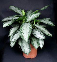 Аглаонема  -  домашнее  тенелюбивое  растение,  родственница диффенбахии и поэтому несколько похожа на нее, отличается лишь более узкими листьями, размеры аглаонемы значительно меньше диффенбахии, а само растение имеет форму куста. Зимой требует дополнительного освещения.