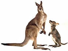 Kangaroos and wallabies differ in several ways. See more pictures of marsupials.