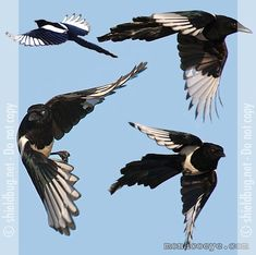 european magpie - Drawings in flight Eurasian Magpie, Magpie Tattoo, Alchemy Tattoo, Stained Glass Birds, Jackdaw, Crows Ravens, Watercolor Bird, Love Birds, Bird Art