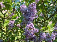 Gartenpflanzen: Flieder