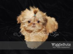 This gorgeous boy is Pumpkin, he is a blonde liver male pup & is ready for adoption. Visit our Nursery for more info on our fur babies or other puppies that are currently available. Health guarantee- worldwide shipping - Fairy Tail Shih Tzu - Tiny Teacup Imperial Shihtzu Purse Puppy Puppies for sale http://fairytailshihtzu.com/nursery.html