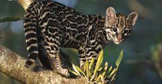 Salvemos de la extinsión a los grandes felinos salvajes FIRMA Y COMPARTE ESTA PETICIÓN AHORA!