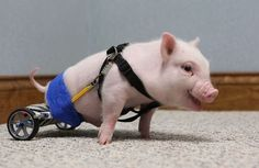 Chris P Bacon, the Piglet in a Wheelchair | 28 Animals That Don't Give A Crap About Their Disabilities