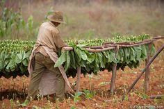 pinal del rio (tabacco leave / hojas de tabaco