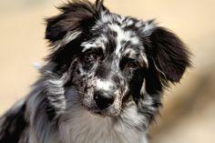 Lily - Australian Shepherd , good looking dog