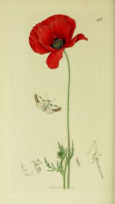 Acontia catena or Acontia nitidula (Brixton Beauty Moth) with a Field Poppy from British Entomology by John Curtis ( 1840's). http://www.biodiversitylibrary.org/ Wikimedia.