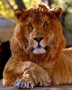 TIGREÃO, que é um cruzamento híbrido entre uma leoa e um tigre macho. O tigreão não é tão comum como o ligre, no entanto, no final do século XIX e início do século XX, os tigreões eram mais comuns que os ligres.         A relativa raridade de tigreões é atribuída ao fato dos tigres machos acharem o comportamento de acasalamento da leoa demasiado sutil e escapam-lhes algumas pistas sobre o interesse dela em acasalar. No entanto, as leoas são ativas e desenvoltas em solicitar o acasalamento…