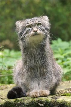 Manul, a small wild cat who lives in Central Asia and is about the size of a domestic cat
