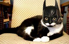 Halloween Batman Cat  www.youtube.com/c/WeMeow #cat #cats #wemeow #meow #catlife #cutecat #catlove #lovecats #gatos #gatti #koty #katze #chats #kitty #kitten #kittens #lovecat #funnycat #cateye #beautifulcat #nicecat #amazingcat #catlooking #catofinstagram #catsoftumblr #catstagram #instapets #instacat #pet #pets #batmancat #halloween