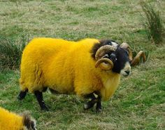 ylfrettuB - Deeply Colored Sheep Which Are Looking Beautiful
