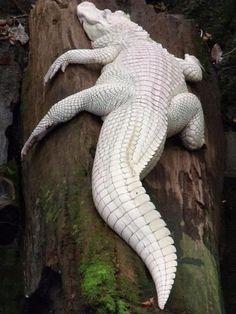 Albinismo (409)Coccodrillo