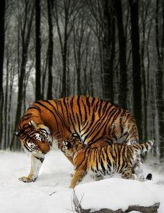 Siberian tiger with cub - Winter Stroll - by Julie L Hoddinott [someone else's caption]