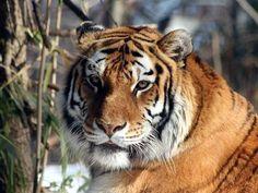 Amur Tiger - http://www.1pic4u.com/blog/2014/09/29/amur-tiger-2/
