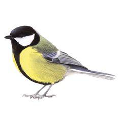 Een van de meest algemene en bekende broedvogels van Nederland en de grootste mees van ons land. De koolmees heeft een zeer gevarieerde zang. Is goed Tree Wall Painting, Bird Paintings On Canvas, Stone Painting, Watercolor Paintings, Watercolor Bird, Watercolor Animals, Pencil Art Drawings, Animal Drawings, Sparrow Drawing