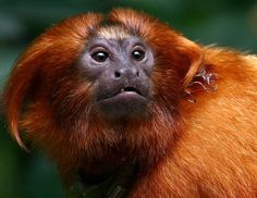 Golden Lion Tamarin, Ape Monkey, Chinese Zodiac, Creatures, Crystals, Monkeys, Count, Awards, Awesome