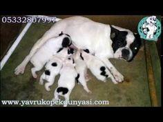 Fransız Bulldog Yavru İlanı