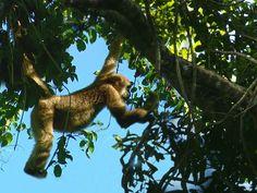 Muriqui-do-sul avistado pela equipe do TG na Fazenda Bacury, em Anhembi (SP)