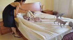 【動画】たくさんの子猫に邪魔されながらのベッドメイキング。シーツを敷くだけでも大変そうw http://skaihahiroi.blog.fc2.com/blog-entry-1499.html…