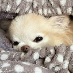 Cute Chihuahua, Chihuahua Puppies, Cute Puppies, Dogs And Puppies, Doggies, Chihuahuas, Baby Animals Super Cute, Cute Funny Animals, I Love Dogs