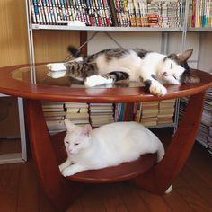 過去の写真で探し物してたら…。 今はなき、思い出のテーブルの写真あった♩ 『こんなん撮った!撮った〜!』 って、お母はんも忘れてた写真。 2人の下から写真w ハッチャンが香箱座りって珍し〜❤︎ おこちゃんは安定の香箱座り❤︎ #下からアングル #八おこめ #ねこ部 #cat #ねこ