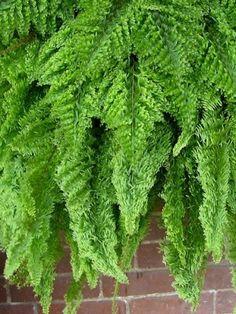 Fluffy Ruffle Fern. My favorite fern to grow in my beautiful jungle