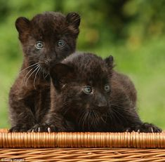 Larisa and Sipura cling to the top of a wicker basket at the zoo in Berlin. The pair, twin females, were born April 26