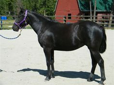 Mountainview Canadian Horses Breeders-For Sale