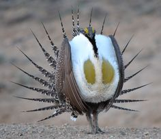 Carbon County Wyoming sage grouse.