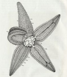 Two Original Pages of 1938 Scientific Drawings of Starfish...naturally occurring zentangle!