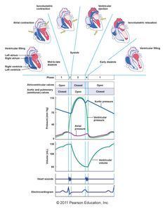 A wiggers diagram is a standard diagram used in cardiac physiology cardiac cycle what im doins in class now 09082014 ccuart Gallery