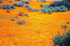 Namaqualand located across the borders of Namibia and (predominantly) South Africa. Throughout the majority of the year Namaqualand looks like most of the region arid and dry but in spring it effloresces into something completely mesmerizing. Jacob Zuma, Beautiful Places In The World, Oh The Places You'll Go, Amazing Places, Beautiful Things, Paraiso Natural, Namibia, Out Of Africa, All Nature