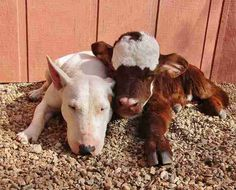 Cat Mini Cow Saved From Auction House Loves Every Dog She Meets Qbd 150 Best Animal Loveunlikely Friends Images On Pinterest In 2018
