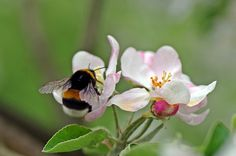 Bumblebee in apple blossom