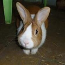 Parsely can be a bit shy when you first meet him, but he quickly comes round to say hello and have the top of his head stroked! Parsley is looking for a new home and a fresh start with a neutered female bunny to keep him company.