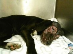 SAFE --- 134478 Male Lab Pup 3 mos old This poor lab pup is literally fighting for his life! He has one of the worst cases of mange. go ahead and start sharing, sharing, sharing! He needs help asap!! He has rescue offer but needs funds for vetting quick! https://www.facebook.com/photo.php?fbid=645175855501454&set=a.511463058872735.129181.339511346067908&type=3&theater#!/photo.php?fbid=649434865075553&set=a.646121092073597.1073741836.339511346067908&type=3&theater