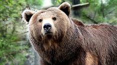 Grizzly Bear | Bear Legend