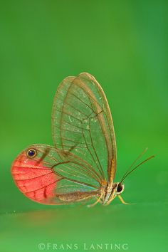 Glass-wing butterfly, Cithaerias aurorina, Manu National Park, Peru