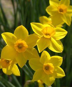 Narcissus Stratosphere - Jonquilla Narcissi - Narcissi - Flower Bulb Index