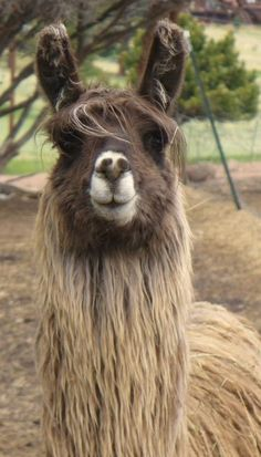 Pictures of Llamas with Caption that Very Cute,Funny and Awasome Alpacas, Llama Llama Red Pajama, Baby Llama, Farm Animals, Animals And Pets, Cute Animals, Llama Pictures, Llama Images, Funny Llama