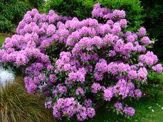 https://flic.kr/p/Qhh4Ak | Rhododendron | www.youtube.com/user/yewmchan/videos
