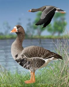 Greater White-fronted Goose - Whatbird.com