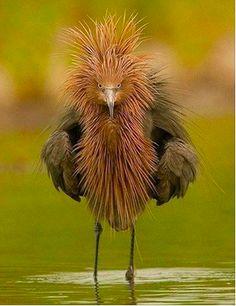 Fashion Hawk