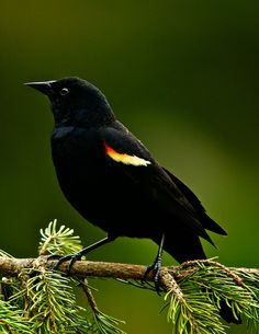 If Redwing Blackbird has come flitting across your path; He is letting you know that the forces of nature are at work and that big changes are coming into your life right now. These changes have been slowly manifesting all around you and are now ready to burst forth and become reality. If you pay ...