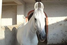 The Marwari Horse of India.  Known for it's odd inward curving ears, the Marwari was bred for war, and has a fantastic unique gait similar to the Tennessee Walker's Running Walk.